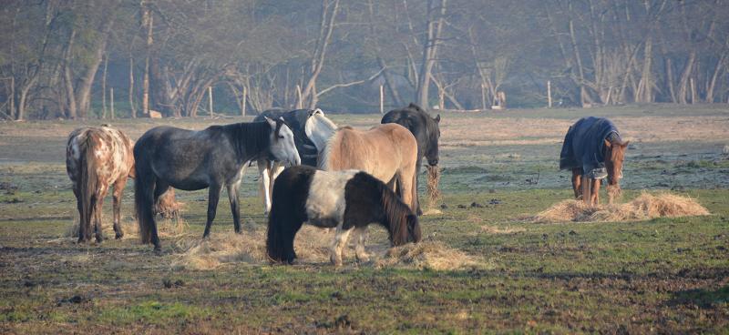 Attention, foin à volonté signifie que le cheval a accès en permanence au fourrage à n'importe quel moment du jour ou de la nuit
