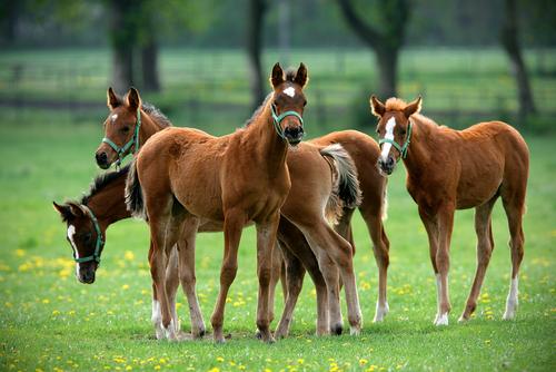 parasitisme chez le cheval