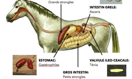 Le parasitisme chez le cheval