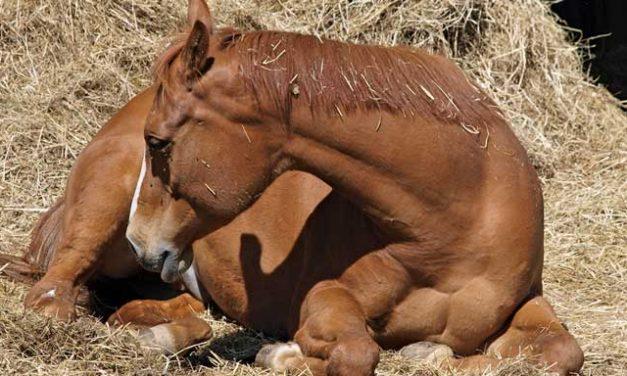 Question : coliques chez le cheval : Que faut il faire en attendant le véto ?