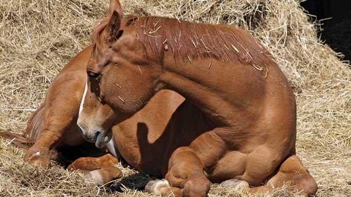 cheval en colique